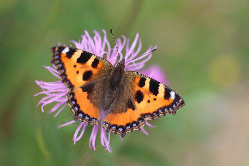 Butterfly, Insect, Pollinate, Pollination, Wings