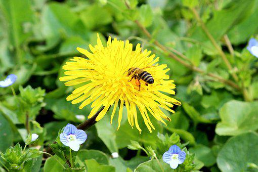 Dandelion, Bee, Yellow Flower, Pollen, Pollinate