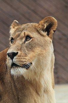 Lioness, African, Cat, Animal, Lion, Predator, Wild