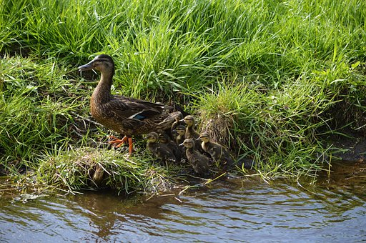 Duck, Animal, Nature, Duckling, Bird, Feather, Poultry
