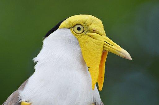 Lapwing Masked Australian, Vanellus Miles, Bird