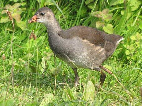 Moorhen, Animal, Chicken, Bird, Birds, Marsh