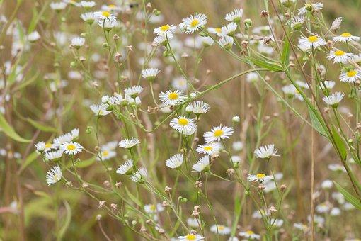 Flowers, Chamomile, Flower, Bloom, Wild, Focus, White