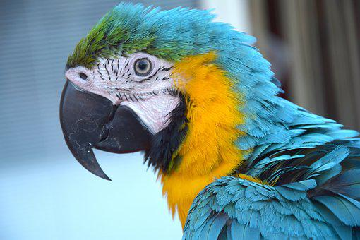 Parrot, Colorful Parrot, Bird, Volatile