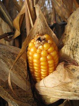 Corn On The Cob, Corn, Plant, Money, Corn Kernels