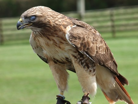 Eagle, Hunting, Prey, Bird, Wild, Wildlife, Animal