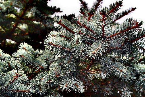 Christmas Tree, Winter, Christmas, Fir, Santa Claus