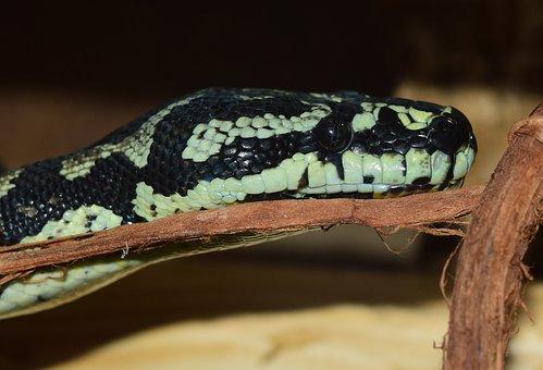 Snakehead, Snake, Reptile, Close, Head, Animal