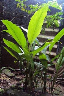 Ginger, Herbal, Herbal Plant, Ginger Plant