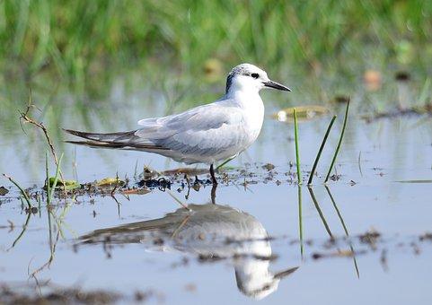 Whiskered, Tern, Marsh, Bird, Wetland, Migratory