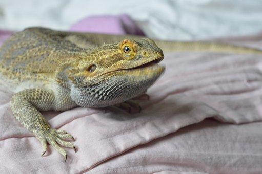 Bearded Dragon, Reptile, Talking, Intelligent