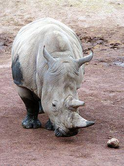 Animal, Rhino, Horn, Endangered Species, Rhinoceros