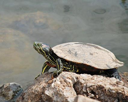 Turtle, Rock, Animal, Nature, Water, Shell, Reptile