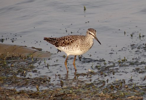 Wood Sandpiper, Bird, Sandpiper, Shorebird, Marsh, Lake