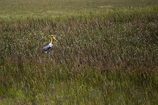 Stork, Adjutant, Bird, Marsh, Weeds, Grass, Large, Bill