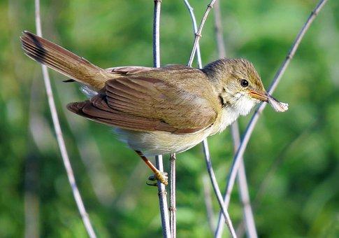 Marsh Warbler, Bird, Marsh, Warbler, Nature, Wildlife