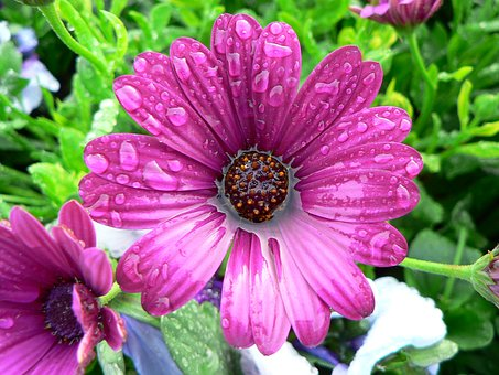 Flower, Wet, Water, Pink, African Daisy