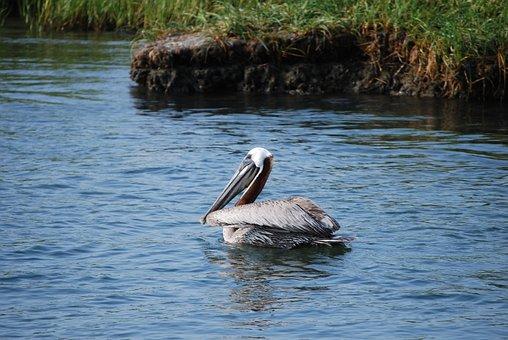 Pelican, Bird, Water Bird, Nature, Waterfowl, Pelicans