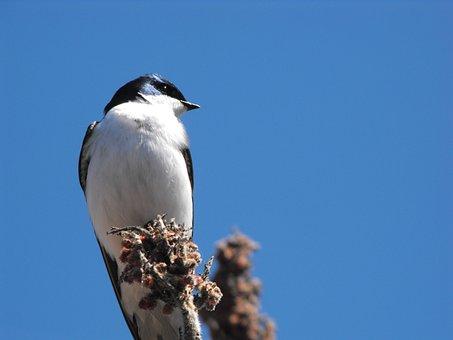 Wye Marsh, Bird, Black, White, Ontario, Nature