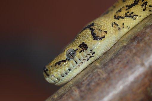 Snake, Head, Yellow Black, Python, Reptile, Animal