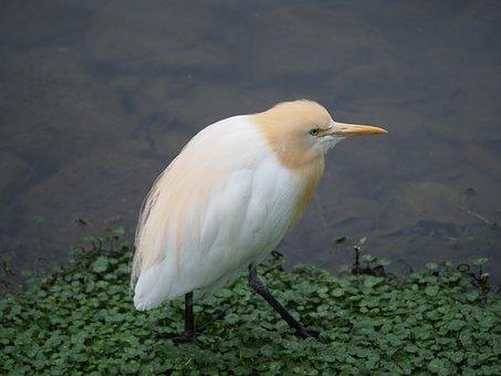 Yellow Head Heron, Bird, Taipei