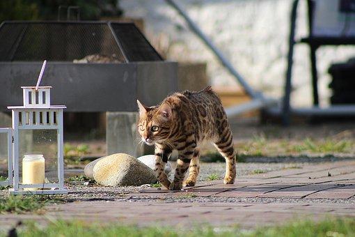 Bengal Cat, Cat, Pet, Animal, Domestic Cat, Purebred