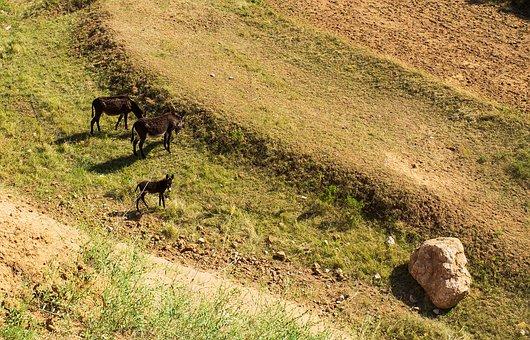 Meadow, Donkeys, Animals, Mammals, Pasture, Grassland