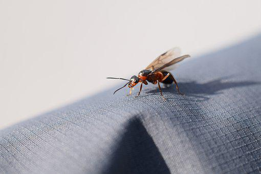 Queen Ant, Ant, Insect, Wood Ant, Wedding Flight
