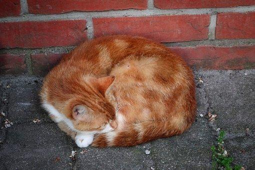 Cat, Orange, Pet, Tabby, Asleep, Sleeping Cat, Kitty