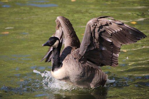 Brant Goose, Goose, Pond, Branta Bernicla, Bird