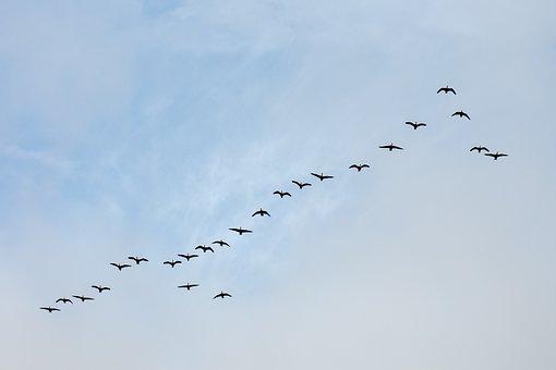 Birds, Flight, Geese, Wildlife, Migration, Canada