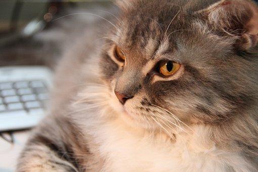 Cat, Cat's Eyes, Feline, Furry, Cat Face, Kitty, Pet