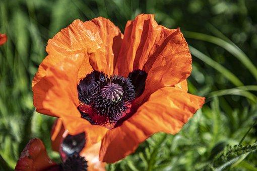 Poppy, Flower, Plant, Common Poppy, Field Poppy