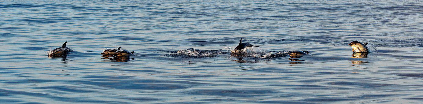 Dolphins, Common Dolphins, Group, Family, Marine