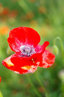 Poppy, Flower, Plant, Common Poppy, Red Poppy