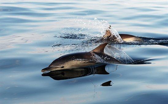 Dolphin, Common Dolphin, Marine, Mammal, Animal, Splash