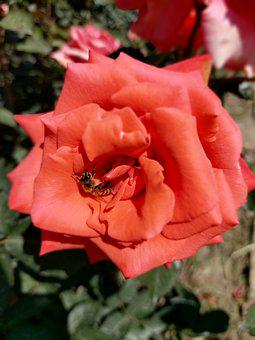 Rose, Flower, Plant, Petals, Bee, Pollinate, Red Rose
