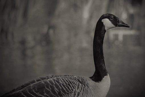 Canada Goose, Bird, Black And White, Neck, Plumage