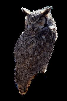 Owl, Bird, Wildlife, Plumage, Predator, Perched, Raptor