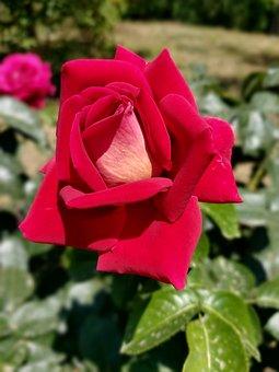 Rose, Flower, Plant, Petals, Red Rose, Red Flower
