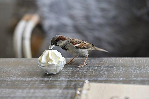 Sparrow, Bird, Sundae, Food, Animal, Wildlife, Songbird