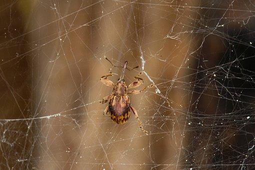 Weevil, Cobweb, Caught, Insect, Web, Spiderweb, Nature