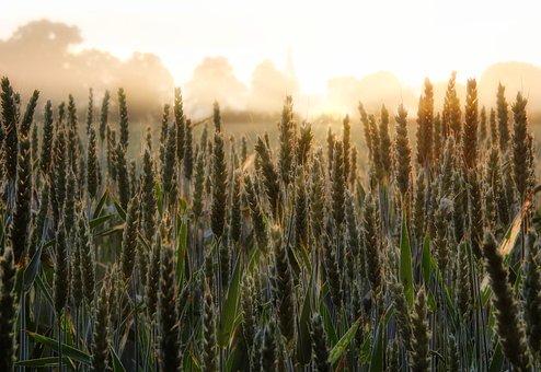 Cornfield, Sunrise, Field, Landscape, Agriculture, Mood
