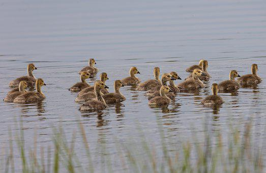 Geese, Goslings, Lake, Chicks, Birds, Baby Geese