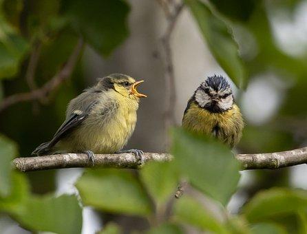 Blue Tit, Fledglings, Birds, Branch, Perched