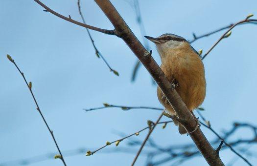 Eurasian Nuthatch, Kleiber, Branch, Bird, Perched