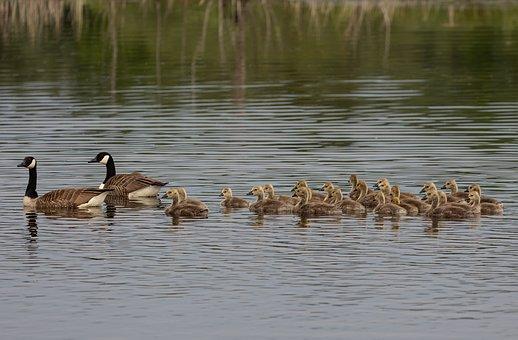 Canada Geese, Goslings, Lake, Chicks, Birds, Geese