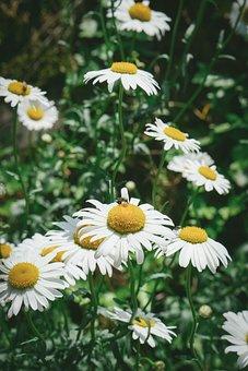 Chamomile, Chamomile Flower, Chamomile Tea