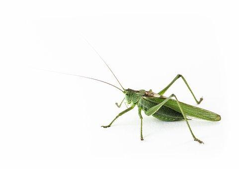 Grasshopper, Insect, Nature, Summer, Wildness, Fauna