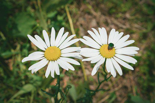 Chamomile Flower, Chamomile, Chamomile Tea, Flower